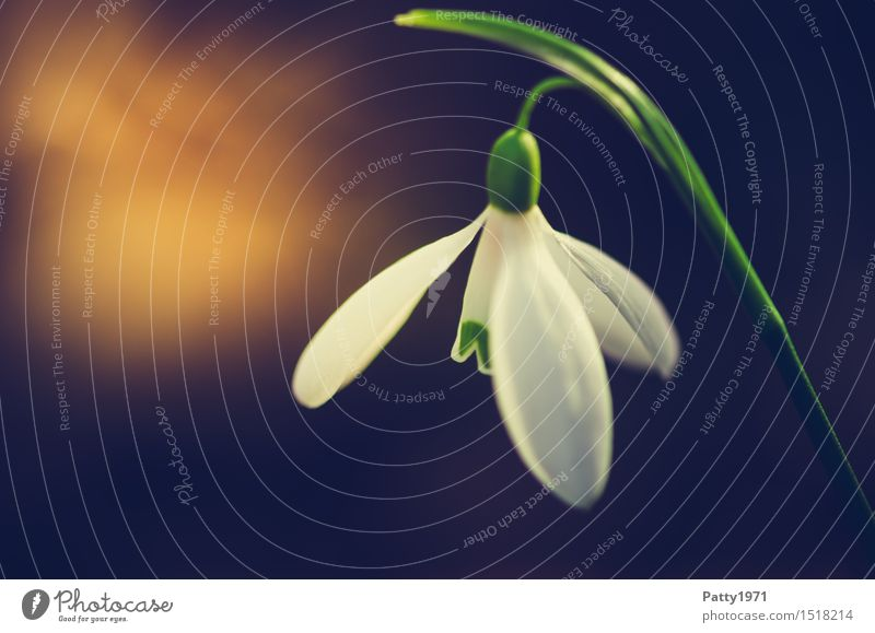 Nature Plant Green White Flower Blossom Spring Blossoming Spring fever Wild plant Snowdrop