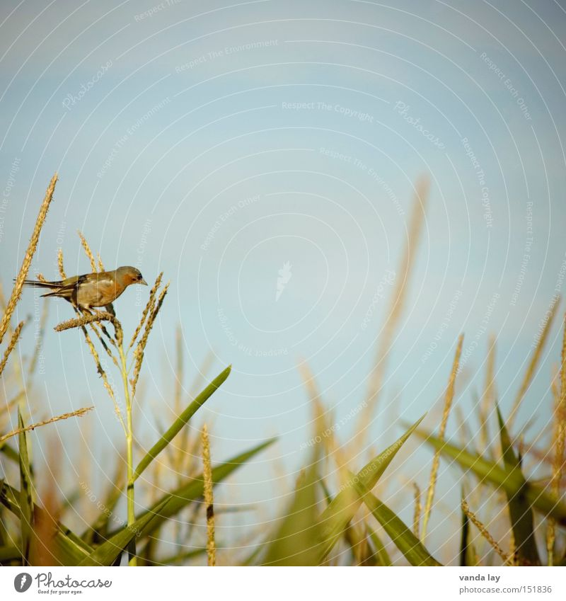 Nature Sky Green Summer Nutrition Animal Bird Field Background picture Food Sit Square Agriculture Appetite Harvest Maize