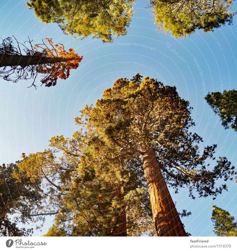 Big friend Tree Old Esthetic Tall Calm Authentic Yosemite National Park Forest Treetop Coniferous trees giant sequoia Redwood Americas USA Colour photo