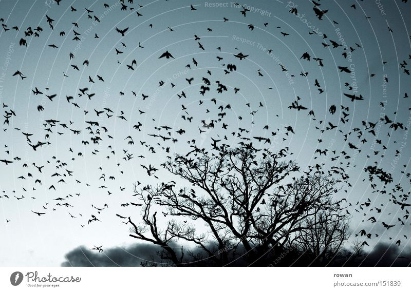 flock of birds II Bird Flock of birds Flying Raven birds Tree Branchage Creepy Plagues False Surrealism Aviation Flight of the birds