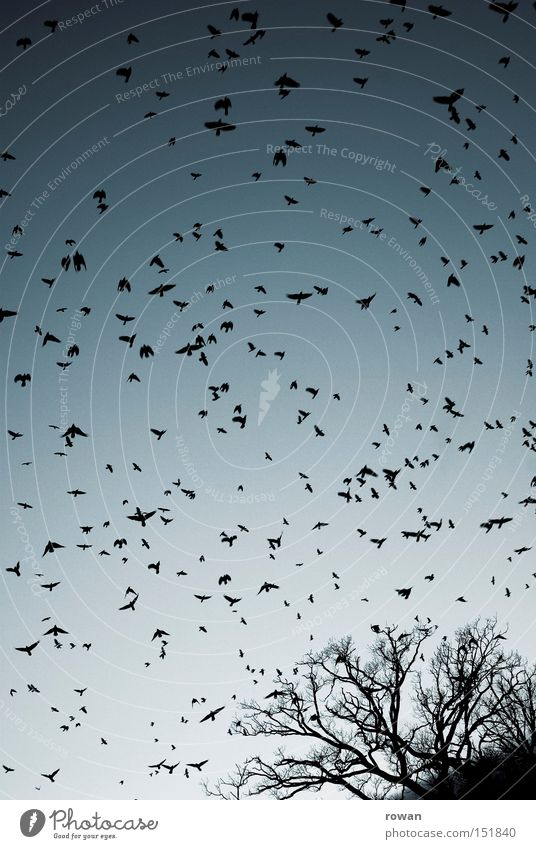 flock of birds III Bird Flock of birds Flying Raven birds Tree Branchage Creepy Plagues False Surrealism Aviation Flight of the birds