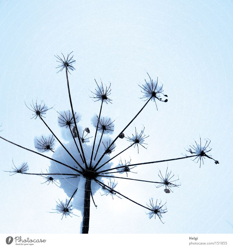 Nature White Plant Winter Cold Snow Brown Star (Symbol) Soft Stalk Feeler Umbellifer