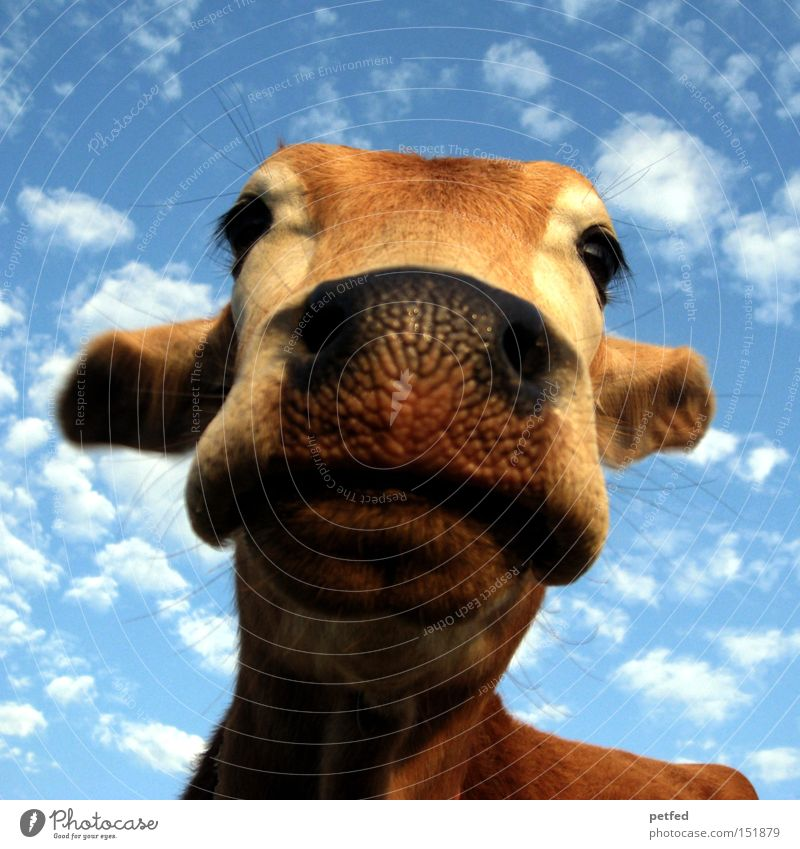 Indian worship object Cow Animal Sky Snout Holy Cattle Mammal Eyes