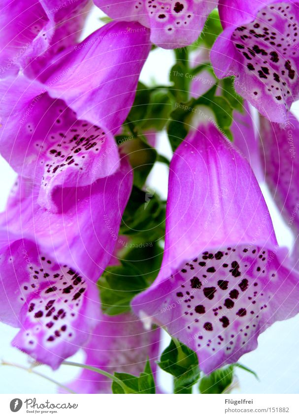 Nature Green Summer Flower Warmth Sadness Blossom Pink Growth Grief Point Violet Hang Patch Speckled Foxglove