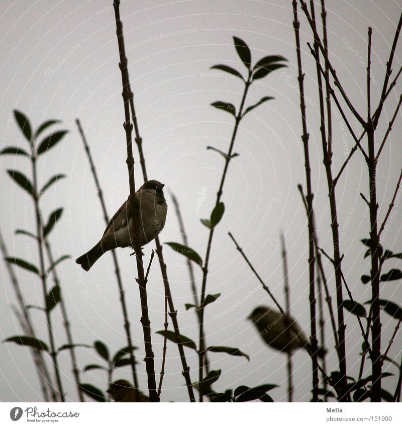 sparrow winter Environment Nature Bushes Twigs and branches Animal Bird Sparrow 2 Natural Gloomy Gray Dreary Colour photo Exterior shot Day
