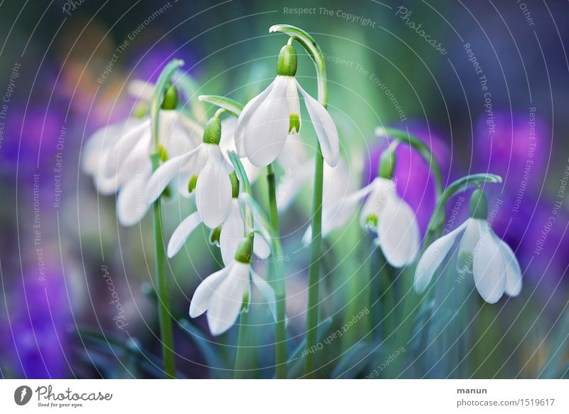 small group Nature Spring Plant Flower Blossom Snowdrop Spring flower Spring flowering plant Spring flowerbed Garden Natural Green Violet White Spring fever