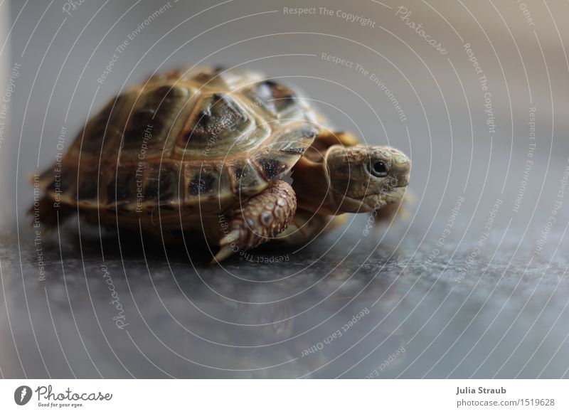 but now quickly more favourable Animal Pet Tortoise 1 Walking Speed Brown Gray Green Endurance Performance Time Target Armor-plated Beautiful Interior shot Day