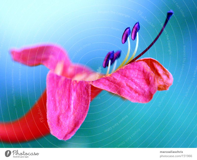 blossom Flower Blossom Plant Pink Macro (Extreme close-up) Nature Beautiful Spring Intensive Force Close-up blue