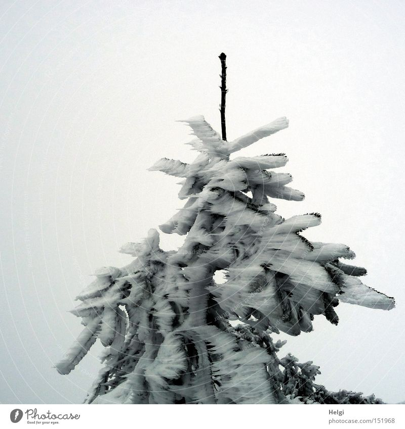 Nature White Tree Green Winter Cold Snow Ice Point Gale Fir tree Frozen Bizarre Twig Prongs Fir needle