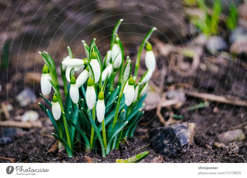 Spring is coming! Wellness Life Well-being Environment Nature Landscape Plant Elements Earth Climate Climate change Weather Beautiful weather Snowdrop