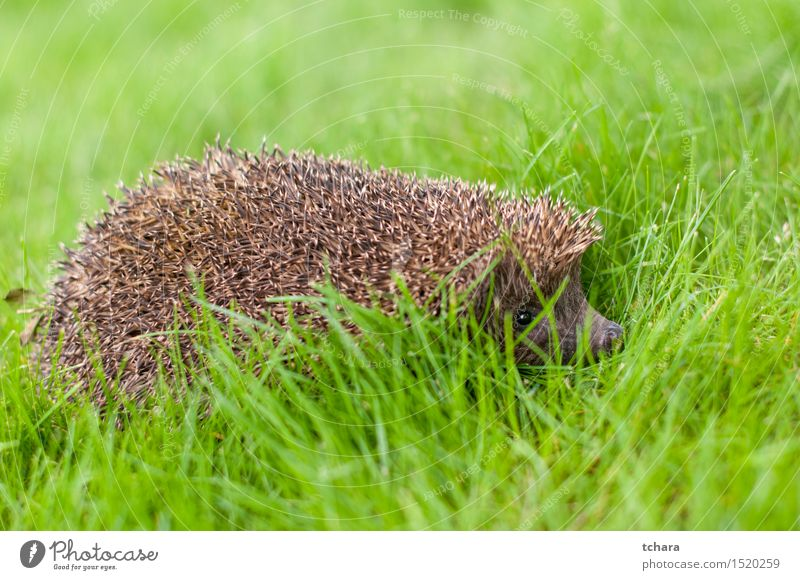 Hedgehog Summer Nature Animal Grass Thorny Wild Brown Green Protection young wildlife Mammal Rodent spiny Spine needle defense Snout Bristles Vantage point