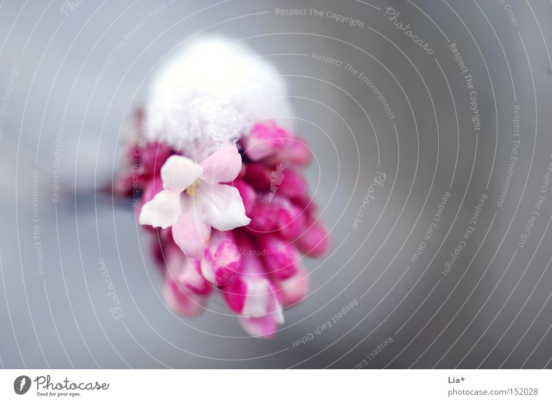 White Flower Winter Cold Life Snow Spring Pink Power Force Frost Seasons Pure Delicate