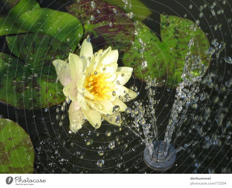 Flowers in the artificial rain Drops of water Pond Leaf Yellow Water