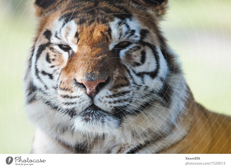 Tiger Woods Wild animal 1 Animal Think To feed Glittering Feeding Hunting Looking Sadness Wait Aggression Brown Orange Black White Bravery Power Willpower Might