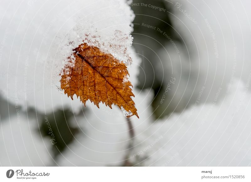 In the stranglehold of winter Nature Winter Ice Frost Snow Plant Leaf Birch leaves Natural End Death Cold Limp serrated Colour photo Subdued colour