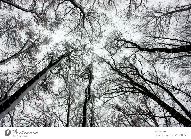 winter forest Winter Snow Sky Tree Forest Gray White Labyrinth Branch Tree trunk Black & white photo Worm's-eye view