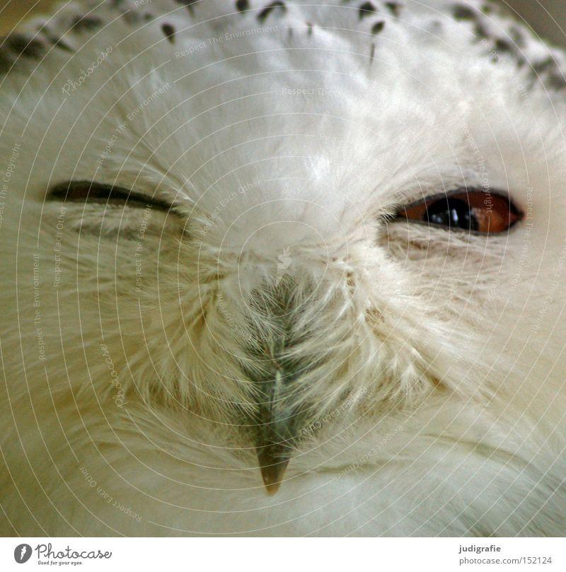 robber Snowy owl Owl birds Bird Feather Beak Wink Eyes Bird of prey Looking Colour