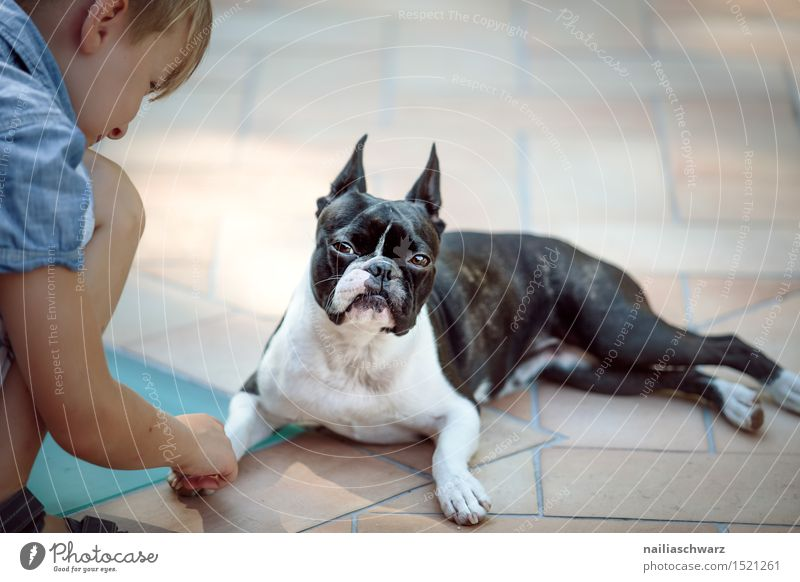 Boston Terrier and boy Playing Child Human being Animal Pet Dog Observe To hold on Brash Small Funny Cute Friendship Boredom Reluctance Mistrust Envy