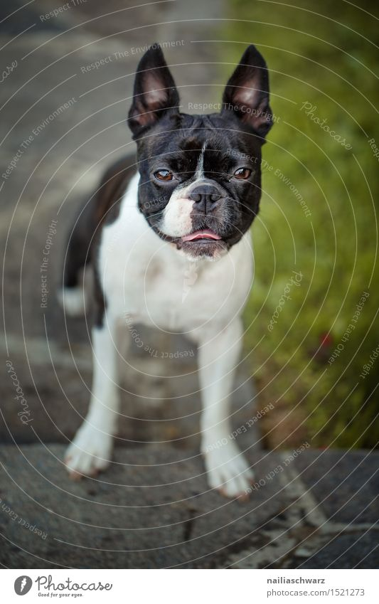 Boston Terrier Summer Garden Animal Pet Dog 1 Small Cute boston terrier Two-tone Purebred fina portrait Summer's day Colour photo Exterior shot Deserted Day