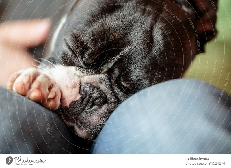 Sleeping Boston Terrier Animal Pet Dog 1 Small Cute Fatigue boston terrier Two-tone Purebred fina portrait Colour photo Close-up Day Shallow depth of field