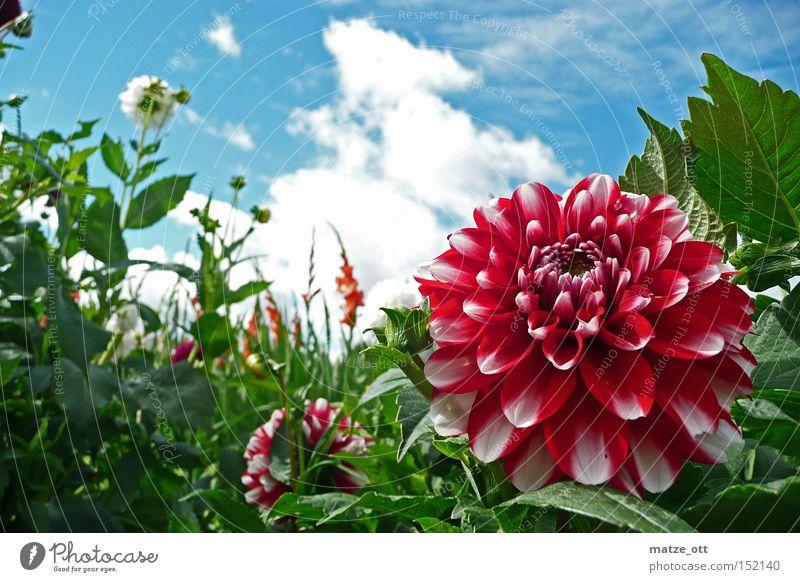 Sky Flower Plant Summer Blossom Spring