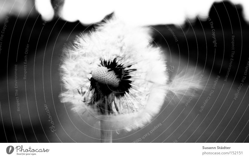 A PIECE OF SUMMER Dandelion Summer Warmth Hot Field Blow Flower Pollen Spore Agriculture Street Stalk Black White