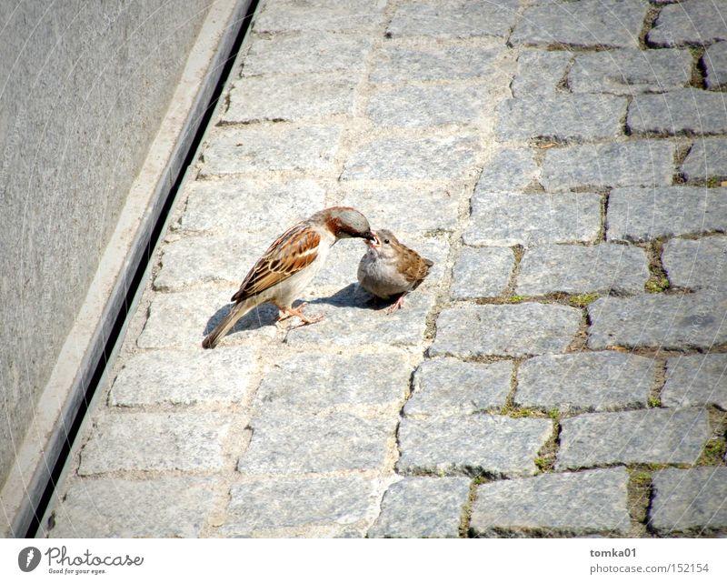 Fill it up, please!!! Bird Sparrow Caresses Beak Feeding Appetite Street Gray Cobblestones Motherly love Offspring Animal Observe Trust