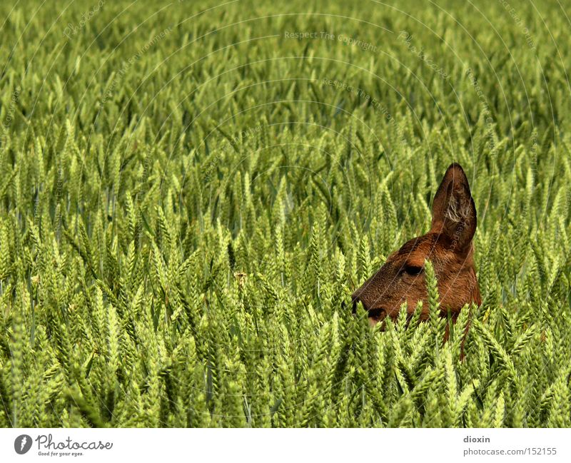 hide and seek Hiding place Hidden Safety (feeling of) Roe deer Field Wheat Agriculture Head Grain Spring Pelt Ear Eyes Nature Wild animal Hunting Fawn Mammal