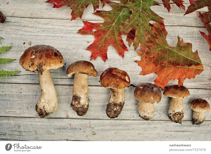 Fresh porcini mushrooms from the forest Food Moss Leaf Hat Esthetic Fragrance Brown Boletus spruce mushroom noble mushroom entirely Multiple handle