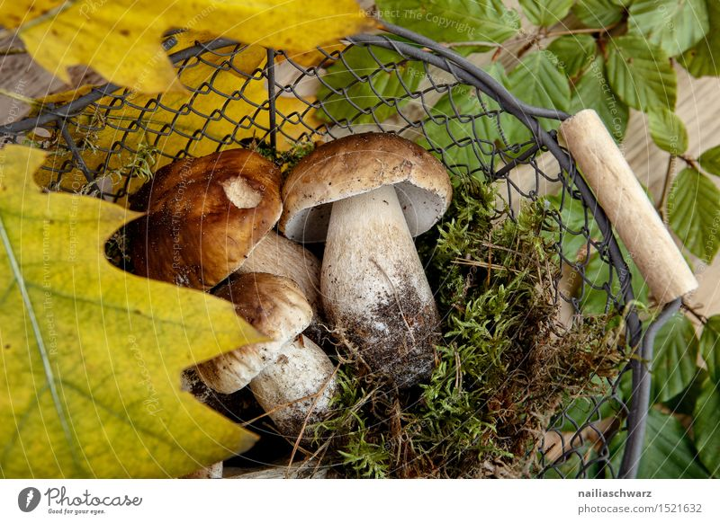 Fresh porcini mushrooms from the forest Food Moss Leaf Hat Fragrance Brown Green Boletus Basket amass Mushroom spruce mushroom noble mushroom entirely Multiple