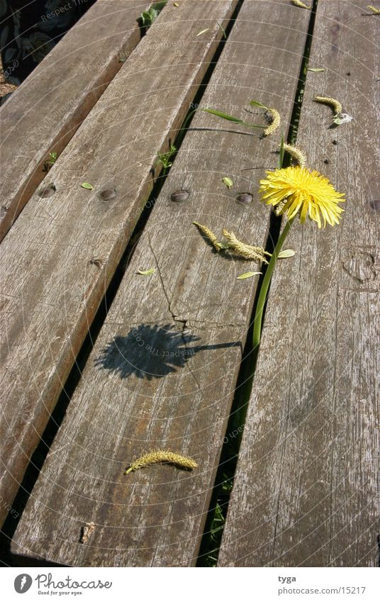 Plant Yellow Bench Dandelion Flower