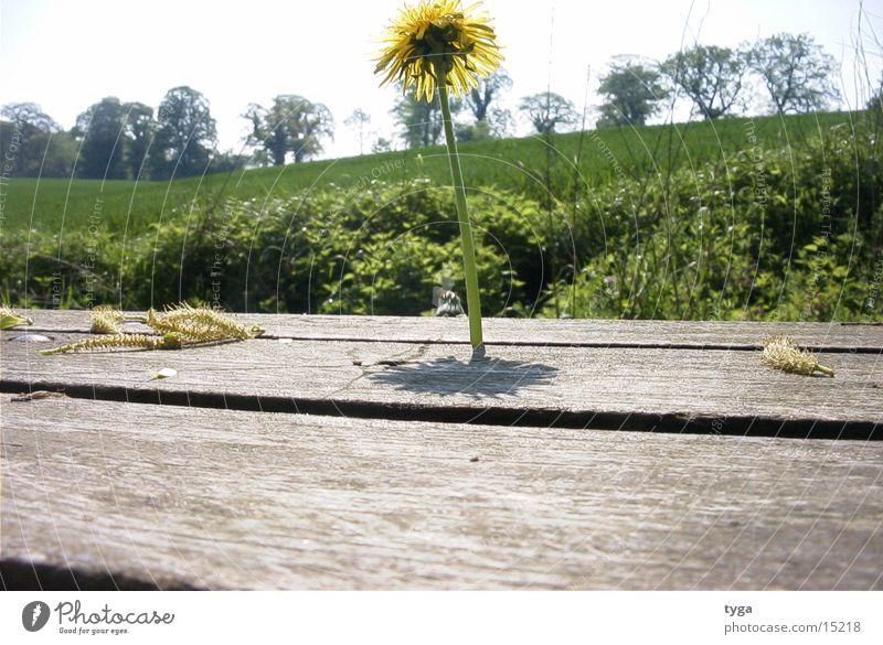 Dandelion @ bank #2 Yellow Bench