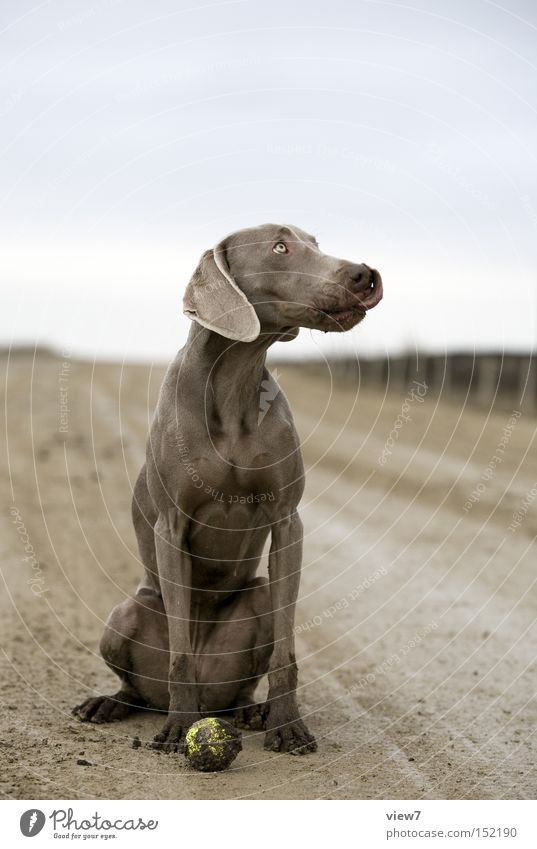 dirty dog Dog Dirty Ball Retrieve Weimaraner Facial expression Expression Pelt Paw Tongue Mammal Beautiful Full-length Sit Looking away Profile Copy Space top