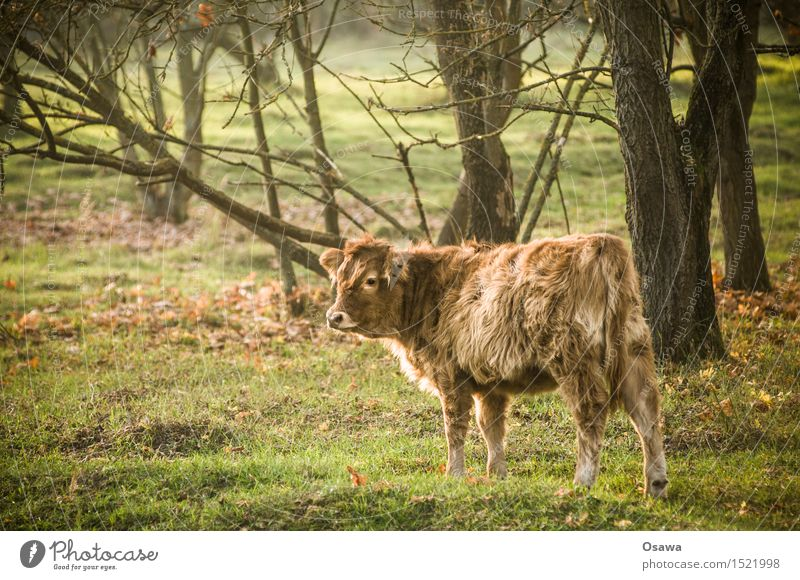 calf Nature Animal Tree Meadow Forest Pelt Wild animal Cow Free Friendliness Cuddly Small Calf Cattle Bull Bushy Clearing Pasture Look back Colour photo