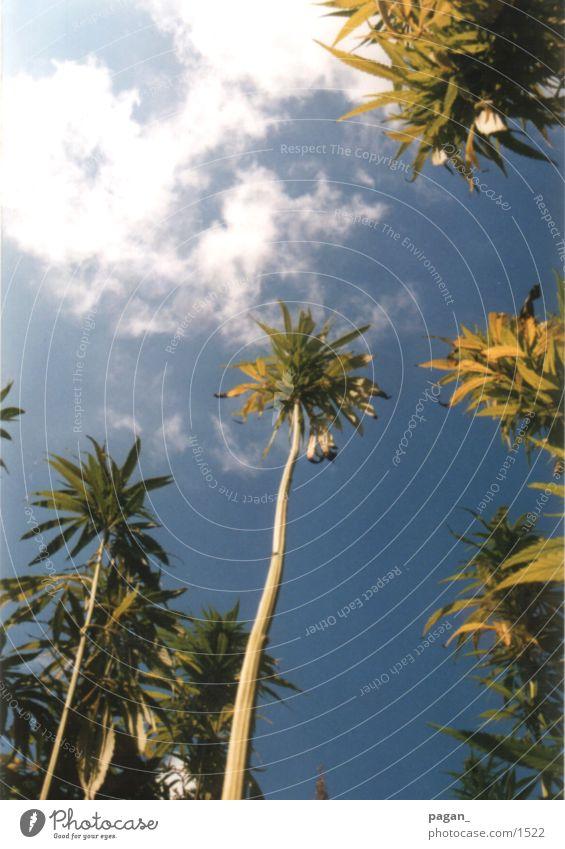 Sky Clouds Palm tree Hemp