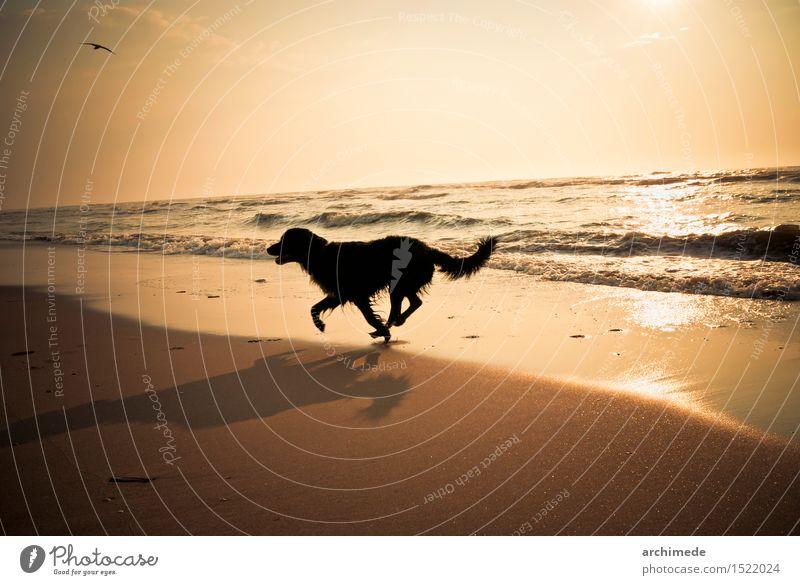 Happy dog running on the beach Joy Vacation & Travel Beach Ocean Animal Coast Pet Dog Running Free Wild Horizontal young healthy Exterior shot Deserted