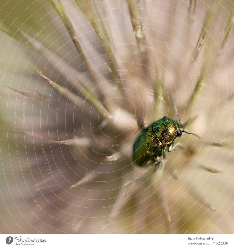 Rose beetle on thistle Nature Plant Animal Spring Summer Garden Park Meadow Field Forest Wild animal Beetle 1 Crouch Crawl Sit Wait Esthetic Exceptional Elegant