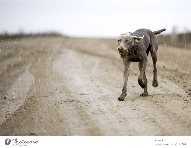 and retrieve it. Dog Dirty Ball Retrieve Weimaraner Pelt Paw Tongue Mammal Exterior shot Hound Watchdog Pet Purebred dog Full-length Dynamics Walking Running
