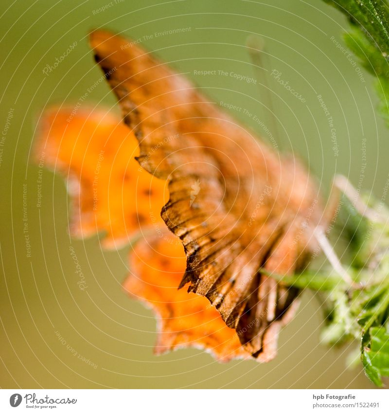 C butterfly Nature Animal Wild animal Butterfly Wing 1 Observe Crawl Esthetic Exceptional Green Orange Moody Spring fever Love of animals Purity Uniqueness