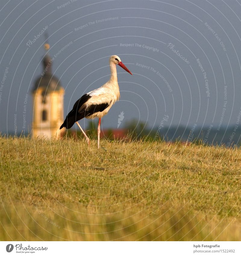 stork Nature Landscape Animal Summer Meadow Field Wild animal Bird 1 Rutting season Observe Movement Esthetic Natural Beautiful Dry Blue Yellow White Moody