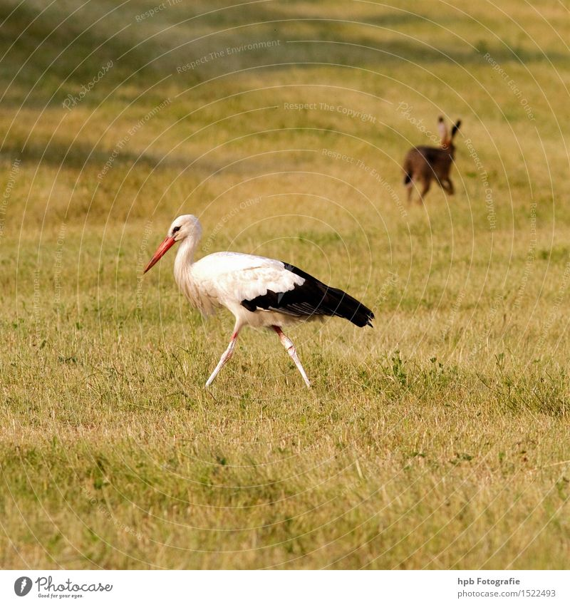 Stork and hare Nature Landscape Animal Meadow Field Wild animal Bird Pelt Hare & Rabbit & Bunny 2 Walking Esthetic Together Happy Beautiful Yellow Red Black
