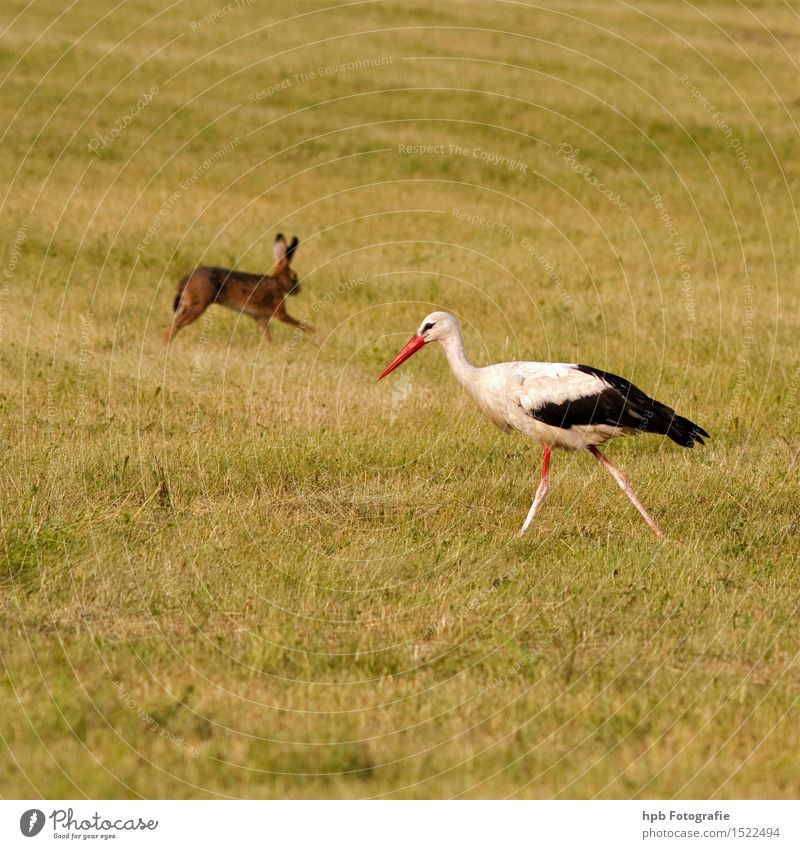 Rabbit and stork Nature Landscape Animal Spring Summer Meadow Field Wild animal Bird Pelt Hare & Rabbit & Bunny 2 Pair of animals Movement Walking Running