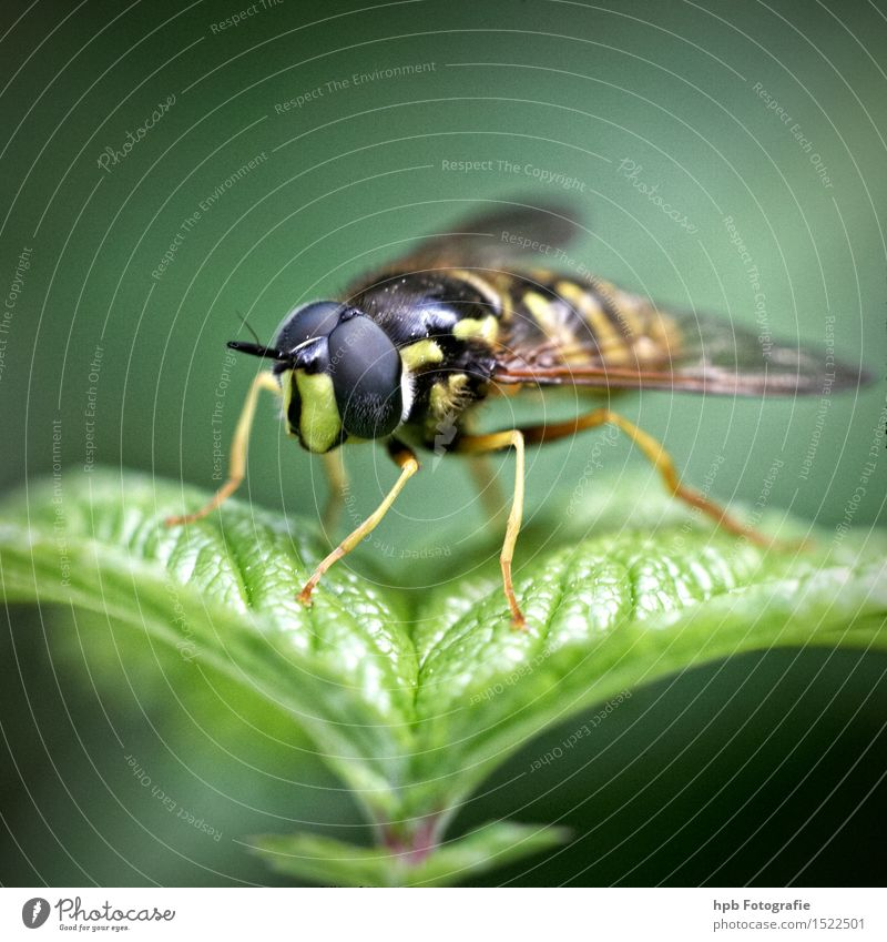 hoverfly Nature Animal Meadow Wild animal Fly 1 Observe Flying Hang Wait Esthetic Cute Beautiful Yellow Green Black Moody Love of animals Disgust Life