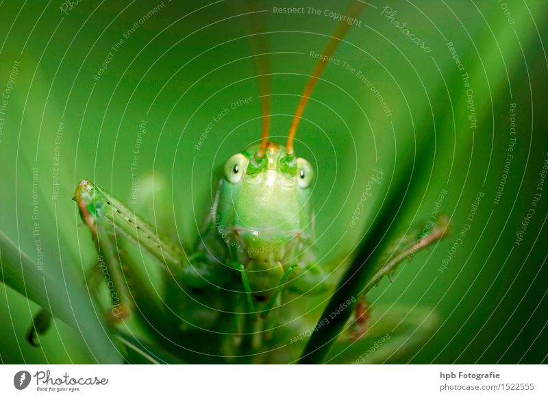 grasshopper Nature Animal Meadow Field Wild animal Beetle Locust haystack 1 Discover Crouch Hunting Looking Jump Wait Exceptional Astute Smart Green Emotions