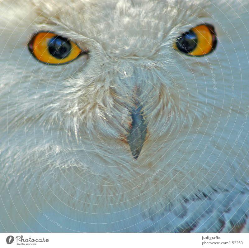 robber Snowy owl Owl birds Bird Feather Beak Eyes Bird of prey Looking Yellow Colour