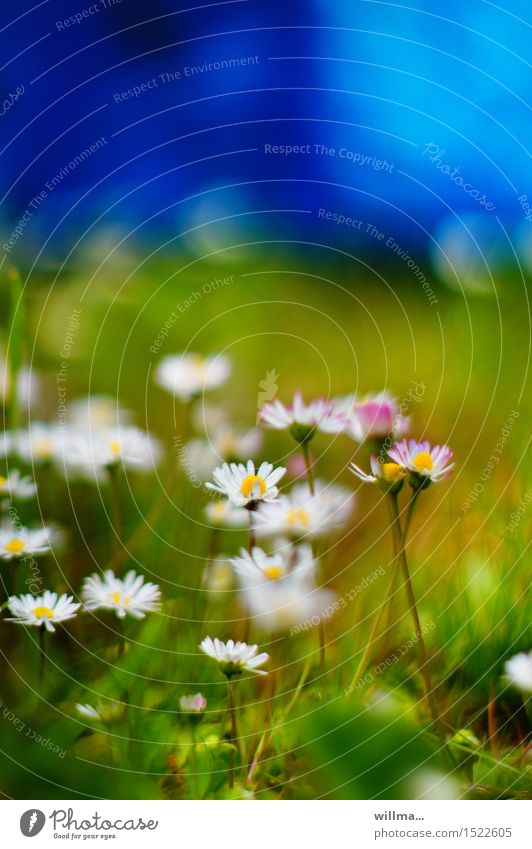 World of health Nature Plant Summer Daisy Meadow Blue Green White Colour photo Exterior shot Copy Space top