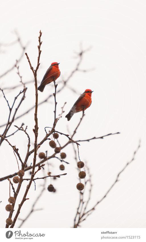 Male vermilion flycatcher bird White Tree Red Animal Winter Bird Wild animal Wing Mysterious Serene