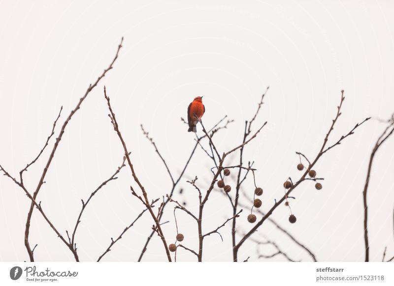 Male vermilion flycatcher bird Nature White Tree Red Animal Winter Bird Wing