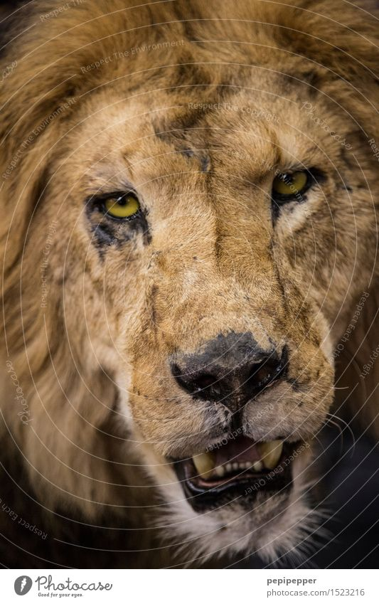 lion Circus Zoo Animal Wild animal Dead animal Cat Animal face Pelt Lion 1 Aggression Blonde Power Pride Subdued colour Animal portrait Upper body Front view