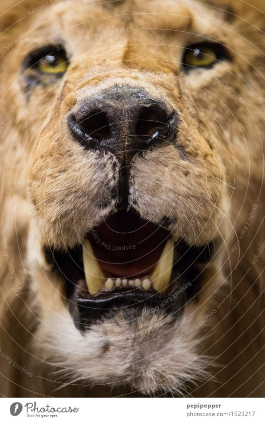 dandelion Animal Wild animal Dead animal Cat Animal face Pelt Lion 1 Hunting Aggression Brown Yellow Power Teeth Muzzle Nose Colour photo Close-up Blur